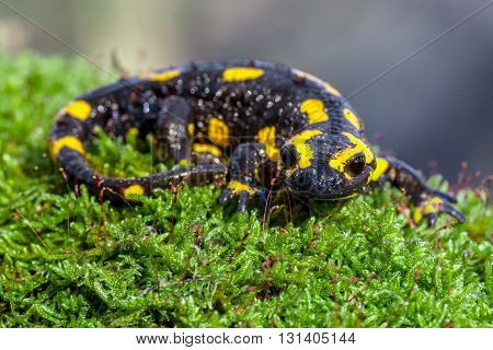 Fire Salamander On A Mossy Trunk In Its Natural Habitat