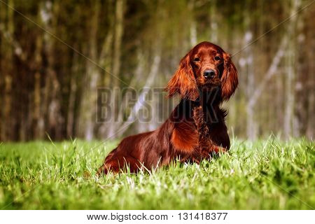 beautiful dog Irish setter lies in the summer glistening in the sun