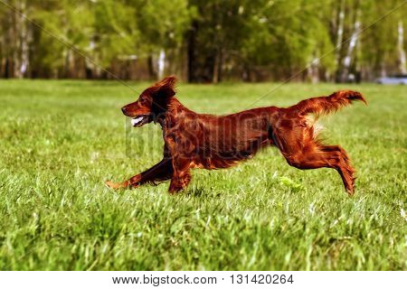 happy dog Irish setter jumping in the grass in the summer have fun playing
