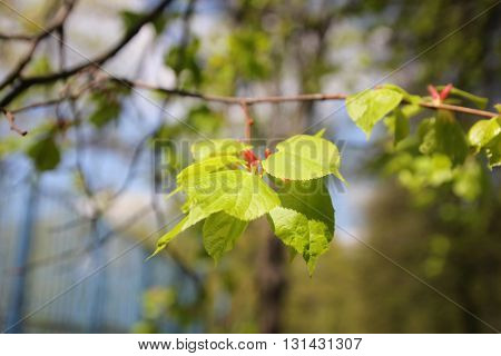 Fresh linden leaves. Tilia is a genus of about 30 species of trees native throughout most of the temperate Northern Hemisphere. Commonly called lime trees in the British Isles, they are not closely related to the lime fruit. Other names include basswood a