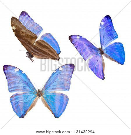 set of Morpho adonis ice blue butterfly isolated on white background