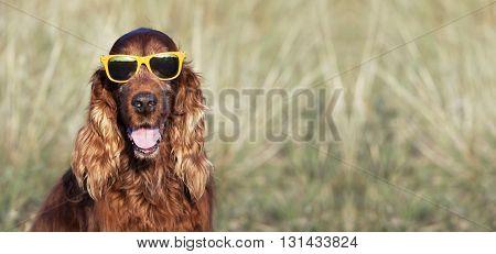 Happy Irish Setter dog smiling to the camera