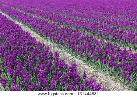Rows of purple hyacinths 'Woodstock' in een agricultural field in Noord-Holland in the Netherlands.