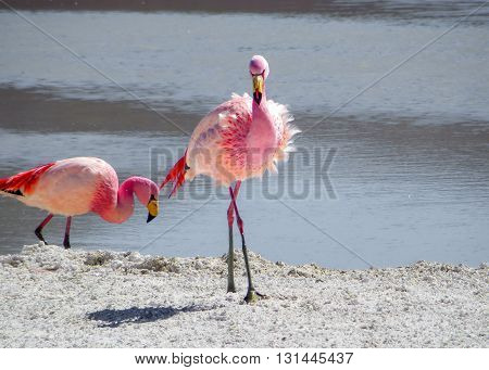 Pink flamingos in their natural habitat by some water showing full legs and body