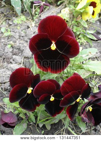 Dark red and yellow pansy flowers 'Red'