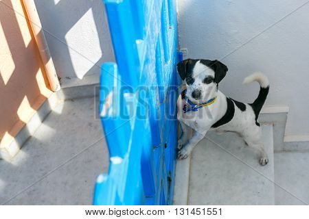 Little cute funny white dog with black spots standing near the blue fence on the steps of the streets of Oia or Ia, island Santorini, Greece
