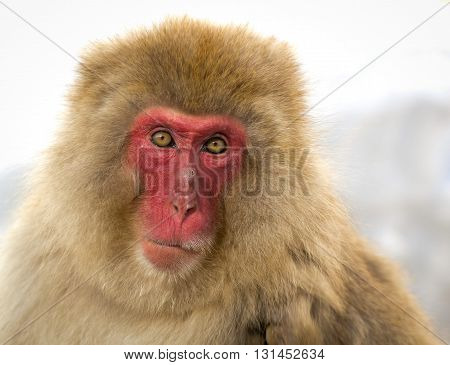 Red faced Japanese macaque staring at viewer with snowy background