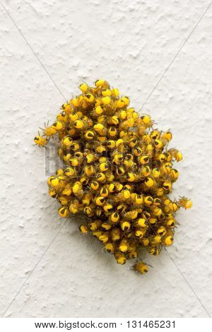 big pile of small yellow young spiders in the webon a light gray background. macro photo selective focus