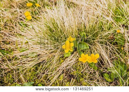 Caltha Palustris (marsh-marigold, Kingcup).
