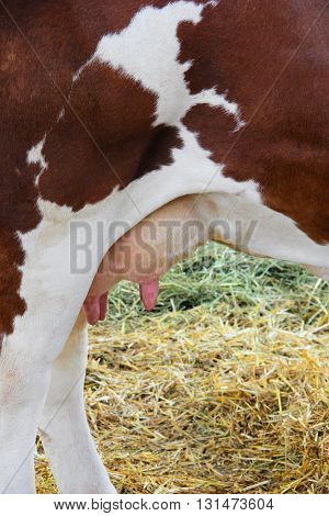 Udder on the brown and white cow