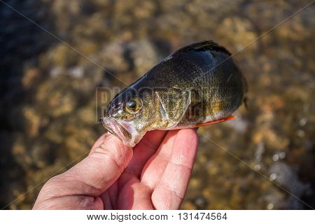 fish perch in the hand of angler at shore