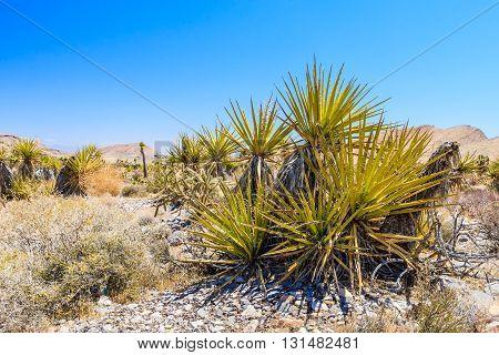Cactus, Red Rock Canyon, Nevada, Usa