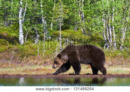 Wild brown bear walking in the green finnish taiga near a lake