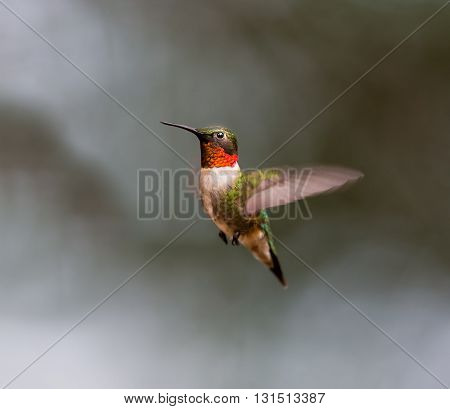 Ruby Throated Hummingbird male, after its long migration from the south to the north. Hovering in space in a boreal forest in Quebec Canada. poster