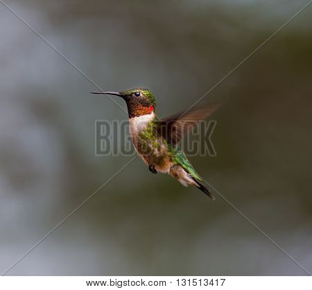Ruby Throated Hummingbird male, after its long migration from the south to the north. Hovering in space in a boreal forest in Quebec Canada.