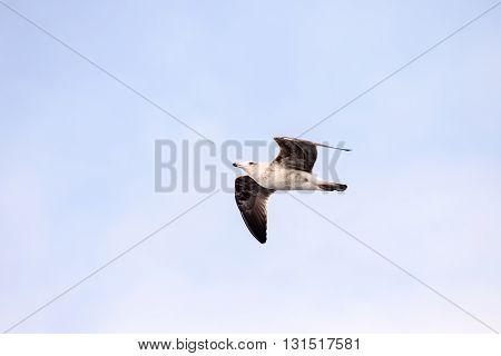 Seagull Water Bird Animal