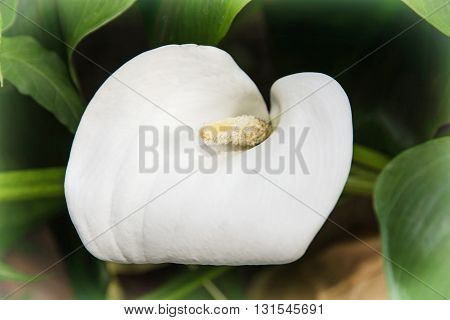 Beautiful white Calla lily flower - Zantedeschia - in the garden. White flower. Natural background. Beauty in nature.
