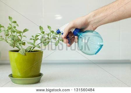 Male hand spraying a house plant with sprayer in pot at home