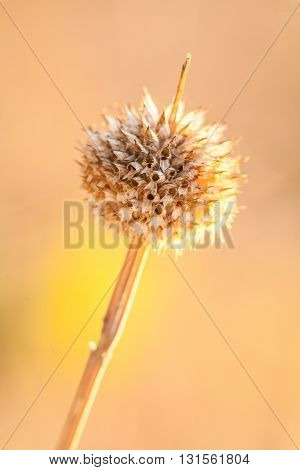 Close up of a Dried Thistle Plant