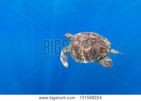 Sea turtle (Eretmochelys imbricata) swimming in the depth