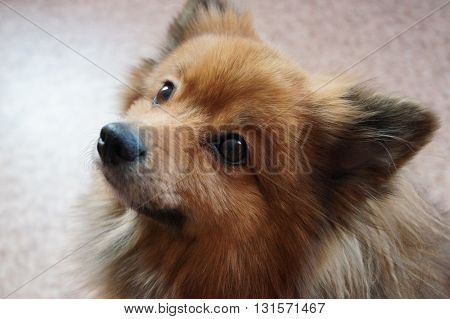 dog breed German Spitz small,companion dog, Guard dog