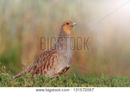 Grey partridge in a beautiful sunlight, bright colors, contrast photo with sunny hotspot