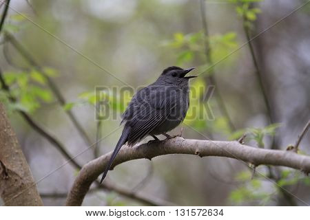 Gray Catbird perched on branch in early morning