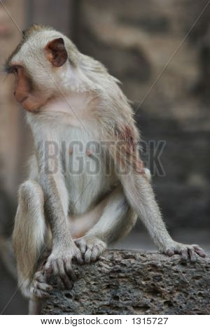 furry brown monkey sitting on a rock poster