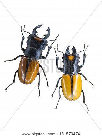 nature scarab Beetle isolated on white background