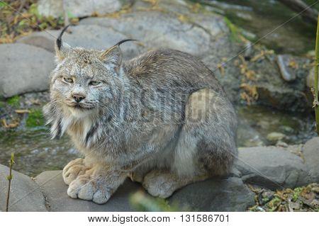 An adult Canada Lynx sitting on the rocks
