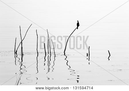 Black and white abstract lake landscape of poles for fishing nets Orissa India