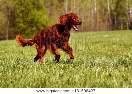 happy dog Irish setter running in the summer fun to play