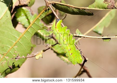 Big green silkworm on a tree branch blurry background Orissa India