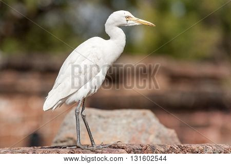 Great White Egret/Heron portrait in Orissa India