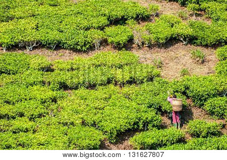 A worker with a basket on his back cuts tea in a tea plantation of Southern Tanzania.