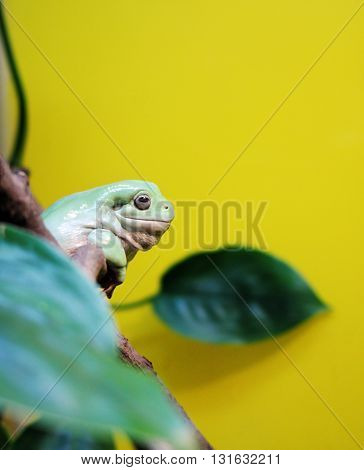 The Australasian treefrog on a yellow background