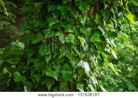 Green ivy leaves around the tree in the forest