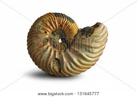 Ammonite - fossil mollusk. Ammonites lived in the ancient ocean 160 million years ago. Upper Jurassic Series