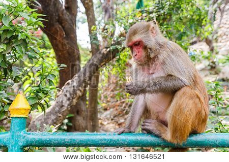 Photo of a rhesus monkey sitting on the fence