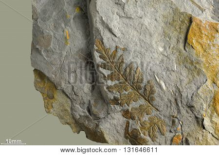 Prints of ancient plants that lived on earth 320 million years ago