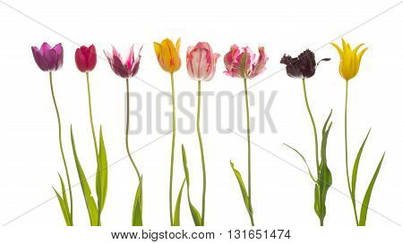 bright beautiful varietal multicolored tulips of different varieties with thin long green stems and leaves on a white background isolated