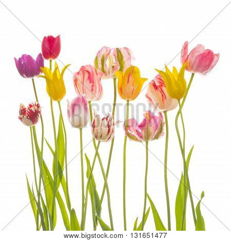 many bright beautiful varietal multicolored tulips of different varieties with thin long green stems and leaves on a white background isolated
