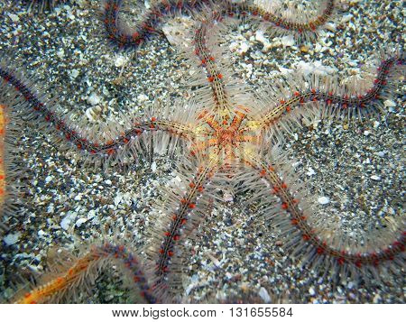 Multicolored Spiny Brittle Star found off of central California's Channel Islands.