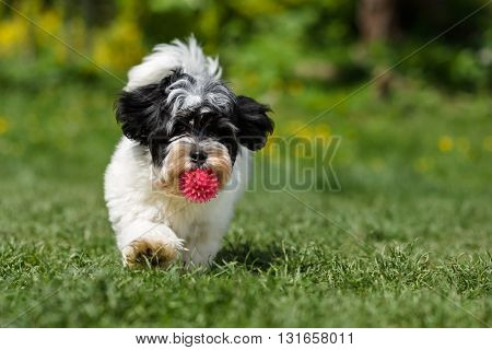 Playful spotted havanese puppy dog is running towards the camera with a pink ball in his mouth in a spring garden