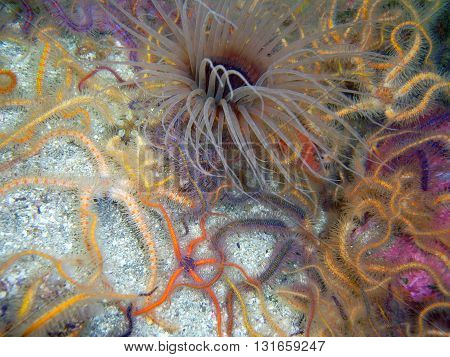 Brown Tube-dwelling Anemone surrounded by colorful orange, yellow, and blue Spiny Brittle Stars.  This images was taken off of central California's Channel Islands.