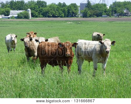 Cattle in the pasture eating new spring grass.