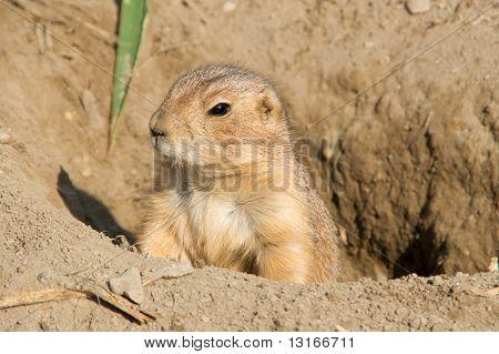 Sentinel Ground Squirrel