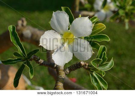 White Desert Flower adenium obesum in nature