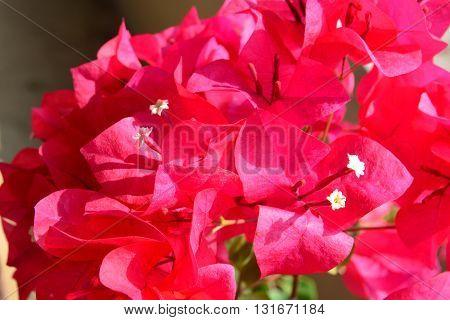 Red Bougaville flowers, Bougainvillea is a genus of thorny ornamental vines