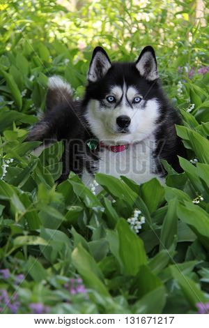 A Siberian Husky sitting in a field of lily of the valley.